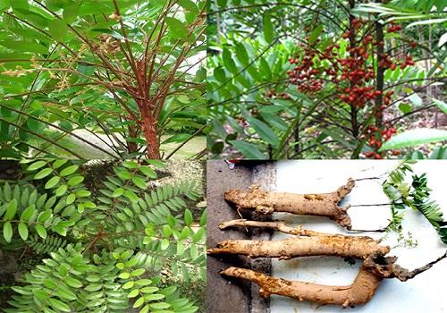 Qủa, rễ và vỏ thân của cây mật nhân đều dùng làm thuốc